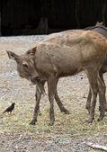 Portrait of antelope — Stock Photo