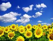 Solrosor fältet — Stockfoto