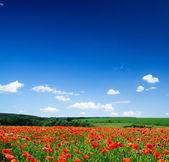 Poppies flowers — Stock Photo