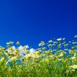 Camomiles on blue sky — Stock Photo #56488817