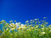 Camomiles on blue sky — Stock Photo