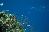 Mar de coral — Fotografia Stock
