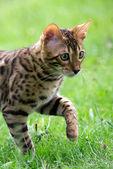 Cat runs on a lawn — Stock Photo