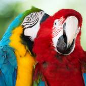 Colorful  parrots — Stock Photo
