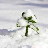Plant growing through the snow — Stock Photo