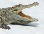 Close up, Alligator — Stock Photo