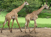 Giraffes in  zoo safari park — Stock Photo