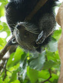Amusing animal of binturong — Stock Photo