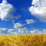 Wheats spike — Stock Photo #58422681