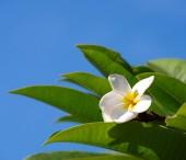 Beyaz plumeria çiçek — Stok fotoğraf