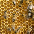 Bees on honeycells — Stock Photo #59104523