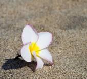 Flower Plumeria alba — Stok fotoğraf
