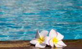 Tropical flowers Plumeria — Stock Photo