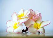 Exotic flowers frangipani — Stock fotografie