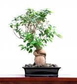 Green banyan tree — Stock Photo