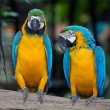 Colorful Macaws parrots — Foto Stock #59117749