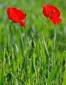 Closeup of red poppies — ストック写真