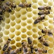 Bees on honeycells — Stock Photo #59121371