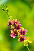 Beautiful  orchid on green — Stock Photo