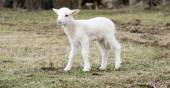 Небольшие овцы — Стоковое фото