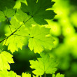 Green leaves background — Stock Photo #60010371
