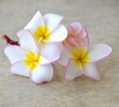 Flowers frangipani — Stock Photo