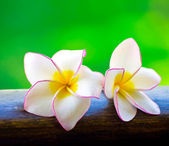 Pink frangipani flowers — Stock Photo