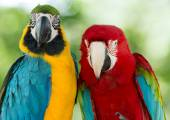 Macaws parrots — Stock Photo