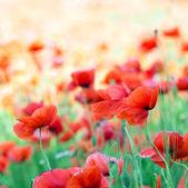 Red poppy flowers — Stock Photo