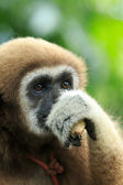 Gibbon face in zoo — Stock Photo