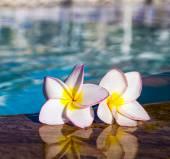 Tropical Plumeria flowers — Stock Photo