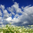 Camomiles flowers on cloudy sky — Stock Photo #61056303