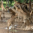 Giraffes in the zoo — Stock Photo #61056437