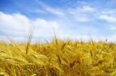 Wheats  ears and blue  sky — Stock Photo