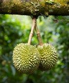 Fresh durians on tree — Stock Photo