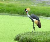 Crowned Crane on gree  background — Stock Photo