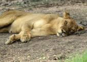 Lioness taking a short nap — Stock Photo