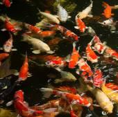 Common carps swimming — ストック写真