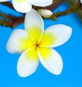 Closeup di fiori di plumeria — Foto Stock