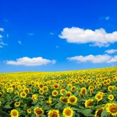Sunflowers field and sky — Stock Photo