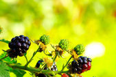 Ripening blackberries in  garden — Stock Photo