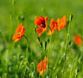 Rode papavers bloemen — Foto de Stock