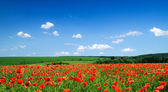 Poppies flowersagainst the sky — Stock Photo