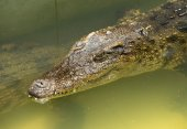 Close up of an Alligator — Stock Photo
