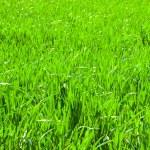 Freshly  grass background — Stock Photo #61885375