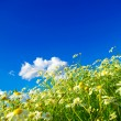 Camomiles flowers on cloudy sky — Stock Photo #61884309