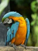 Macaw bird sitting — Stock Photo