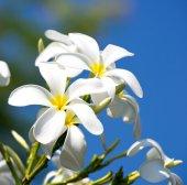 White plumeria flowers — Stock Photo
