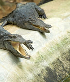 Close up of an Alligators — Stock Photo