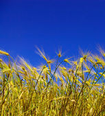 Wheat ears and blue  sky — Stock Photo